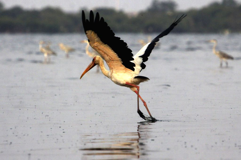 JAKARTA, Sept. 15, 2019 - A milky stork flies during migration time at Rambut island in Jakarta, Indonesia, Sept. 15, 2019.