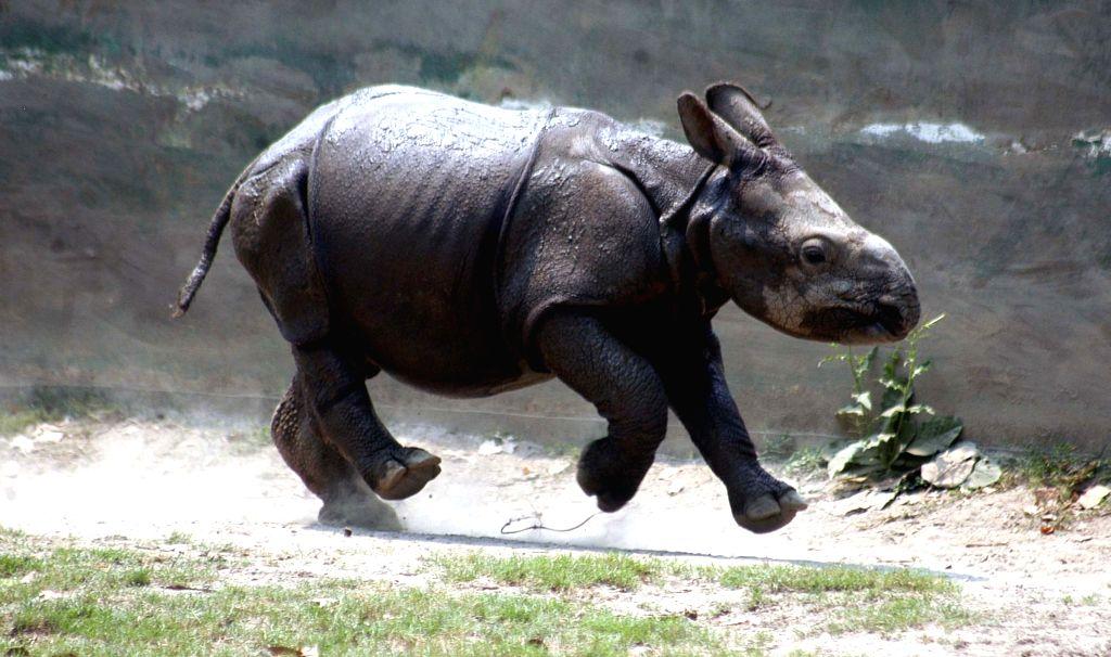 Jaldaprasad - a rhinoceros calf at the Alipore Zoological Gardens in Kolkata, on March 27, 2015.
