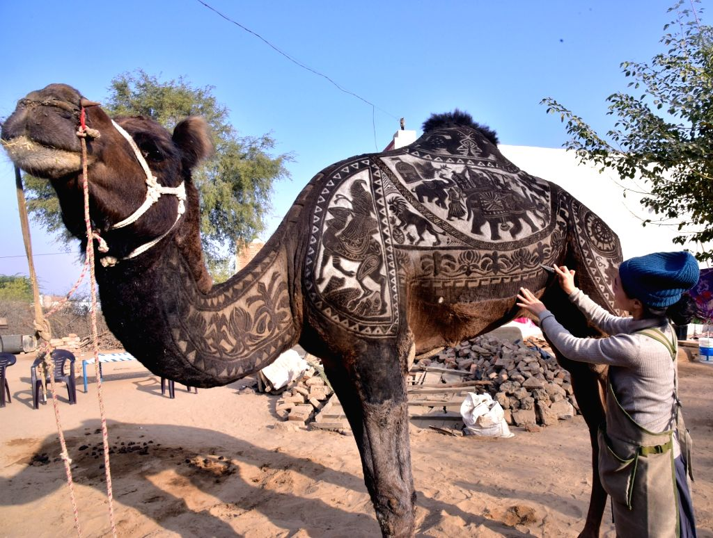 Japanese artist Megumi Takeichi, a former hairdresser, cuts through a camel's coat to produce elaborate designs on its body ahead of Camel Festival in Bikaner on Jan 10, 2019. - Megumi Takeichi
