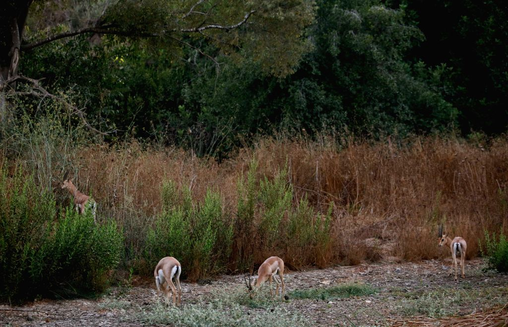 JERUSALEM, Sept. 11, 2016 - A group of gazelles are seen at the Gazelle Valley, officially known as the Pri Har Valley in Jerusalem, Israel, Sept. 10, 2016. The Gazelle Valley, in the heart of ...