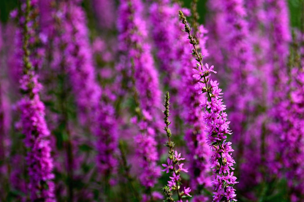 Photo taken on June 18, 2014 shows lythrum salicaria in blossom at Quancheng Park in Jinan, capital of east China's Shandong Province.