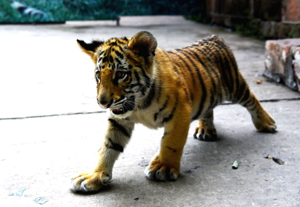 JINAN, Sept. 27, 2019 - Bengal tiger cub Xiao Qi plays at the Jinan Zoo in Jinan, capital of east China's Shandong Province, Sept. 26, 2019. The three-month-old cub is fed by zoo staff since it was ...