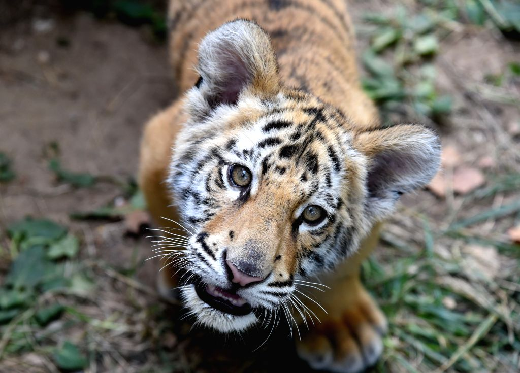JINAN, Sept. 27, 2019 - Bengal tiger cub Xiao Qi rests at the Jinan Zoo in Jinan, capital of east China's Shandong Province, Sept. 26, 2019. The three-month-old cub is fed by zoo staff since it was ...