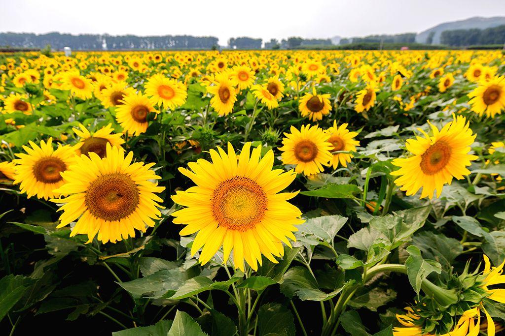 JIXIAN, June 28, 2016 - Photo taken on June 26, 2016 shows sunflower blossoms in Jixian County, north China's Tianjin.