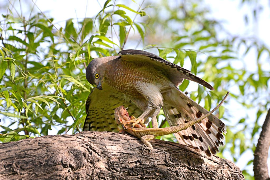 Jodhpur : Shikra - a bird from the family Accipitridae hunts a garden lizard in Jodhpur on May 9, 2017.