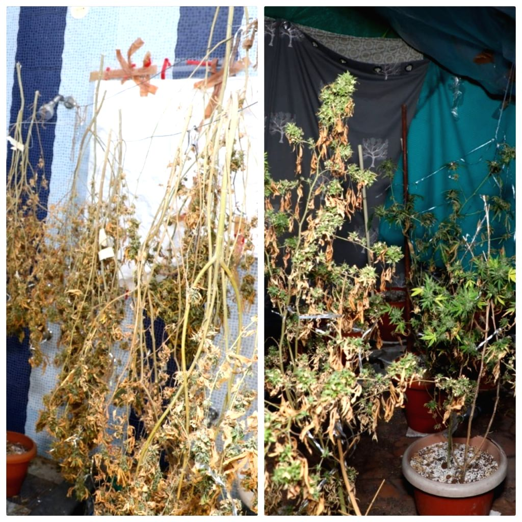 K'taka police unearth Hydro Ganja factory in villa, seize Rs 1 crore worth of drugs.