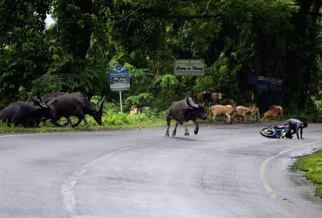 Kanchanjuri: Wild buffaloes run towards a higher land to take refuge from flood water at the Kaziranga National Park in Assam's Kanchanjuri, on July 15, 2019. (Photo: IANS)