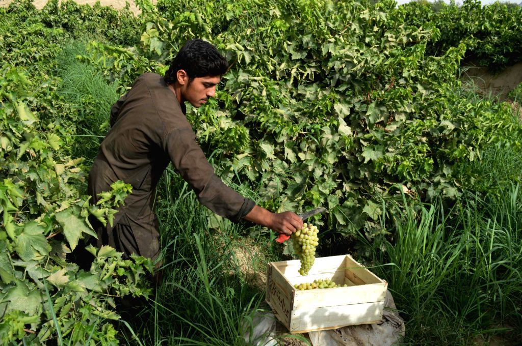 KANDAHAR, July 15, 2018 - An Afghan farmer works at a vineyard in Kandahar province, southern Afghanistan, July 14, 2018.