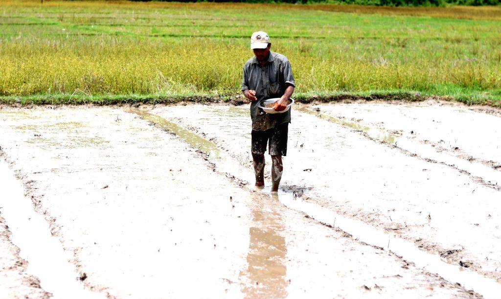 Karbi Anglong: A farmer busy sowing paddy seeds at his field at Howraghat in Assam's Karbi Anglong district, on June 7, 2019. (Photo: IANS)