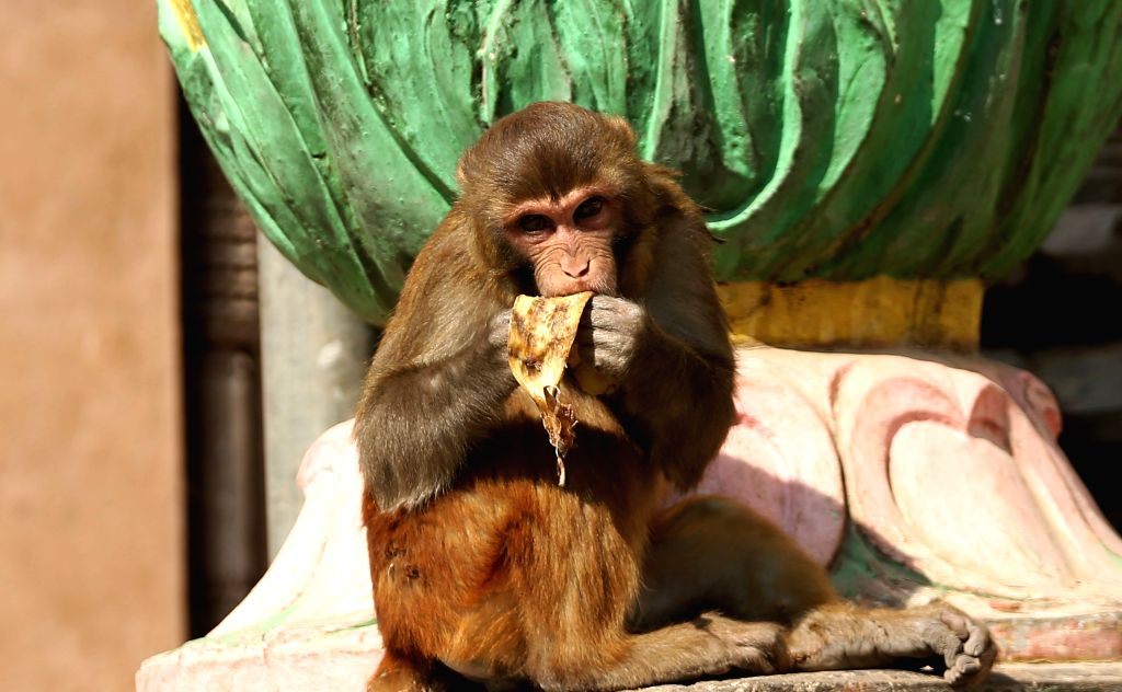 KATHMANDU, Jan. 25, 2019 - A monkey licks banana peels at Swayambhunath, a UNESCO heritage site in Kathmandu, capital of Nepal, Jan. 25, 2019. Swayambhunath is popularly known as Monkey temple.