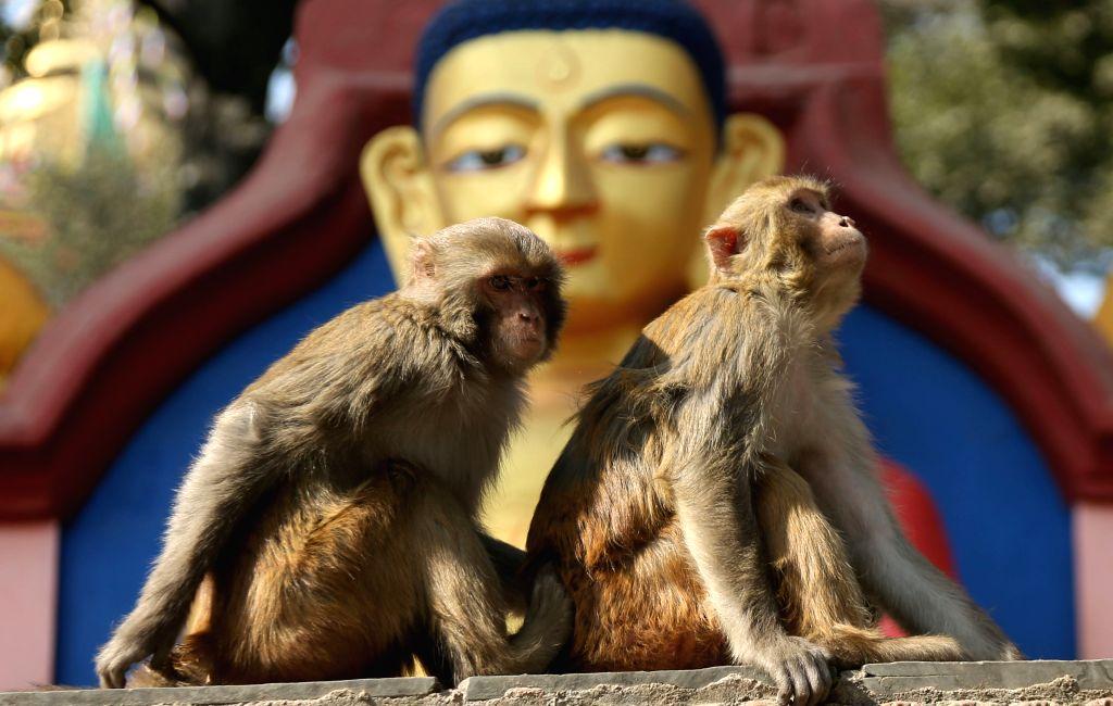 KATHMANDU, Jan. 25, 2019 - Monkeys are seen basking sun at Swayambhunath, a UNESCO heritage site in Kathmandu, capital of Nepal, Jan. 25, 2019. Swayambhunath is popularly known as Monkey temple.