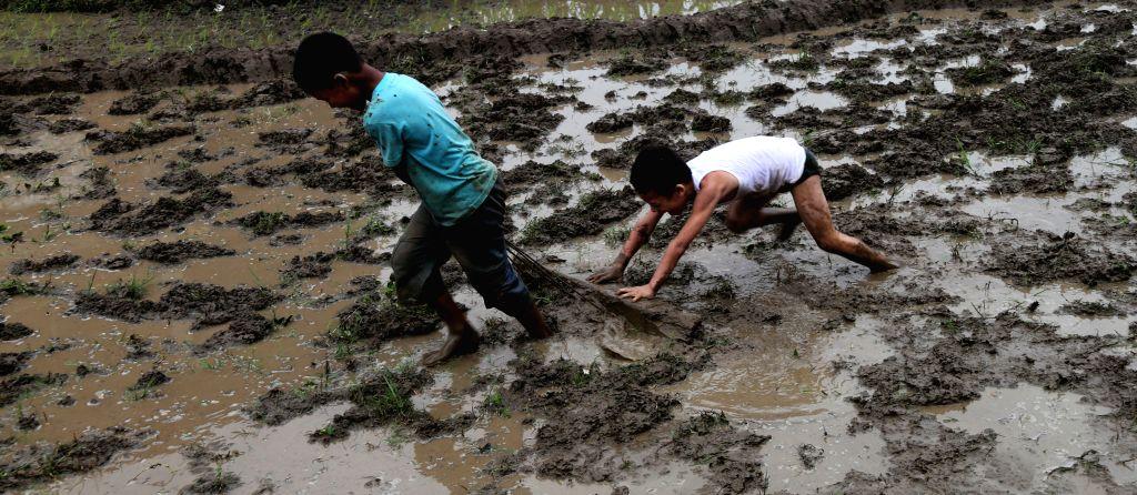 KATHMANDU, July 3, 2016 - Nepalese kids plow the field in manual way for rice plantation in Kathmandu, Nepal, July 2, 2016. Nepalese people continue their rice plantation as monsoon season remains in ...