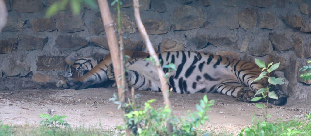 A Bengal tiger roams in its open cage on Global Tiger day at the central zoo in Kathmandu, Nepal, July 29, 2014. Global Tiger Day is an annual celebration to ...