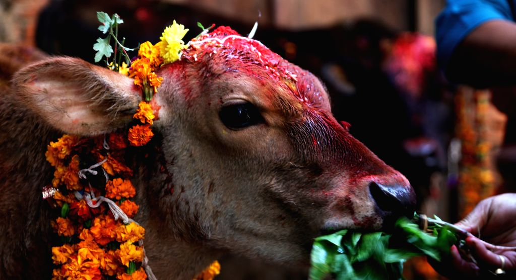 """KATHMANDU, Nov. 12, 2015 (Xinhua) -- A cow is worshipped on a religious ceremony during Tihar festival in Kathmandu, Nepal, Nov. 11, 2015. """"Tihar"""", the Hindu festival of lights, is celebrated for five days. Each day is dedicated to different religiou - Sunil Sharma"""