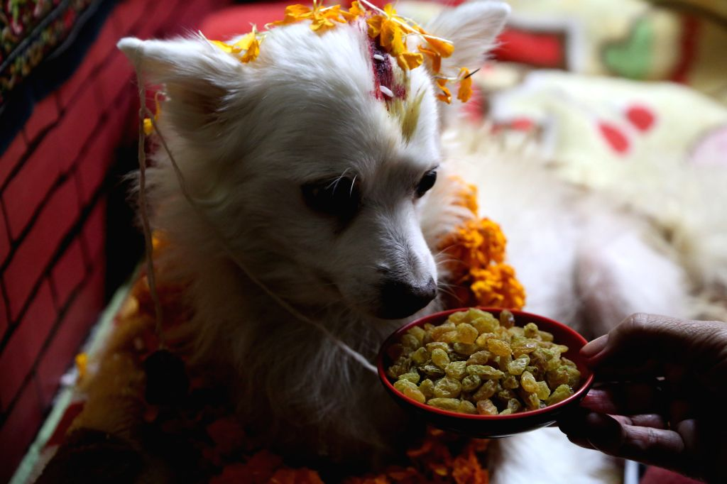 KATHMANDU, Oct. 29, 2016 - A worshipped dog receives offerings during Tihar festival in Kathmandu, Nepal, Oct. 29, 2016. The five-day festival in Nepal is held annually and each day is dedicated to ...