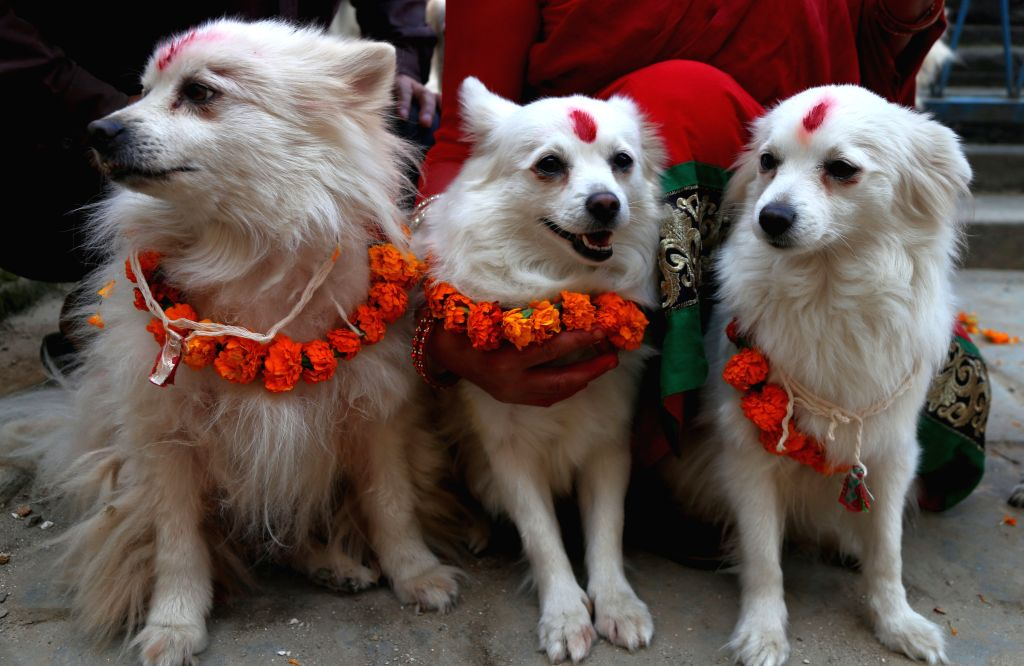 KATHMANDU, Oct. 29, 2016 - Photo taken on Oct. 29, 2016 shows worshipped dogs during Tihar festival in Kathmandu, Nepal. The five-day festival in Nepal is held annually and each day is dedicated to ...