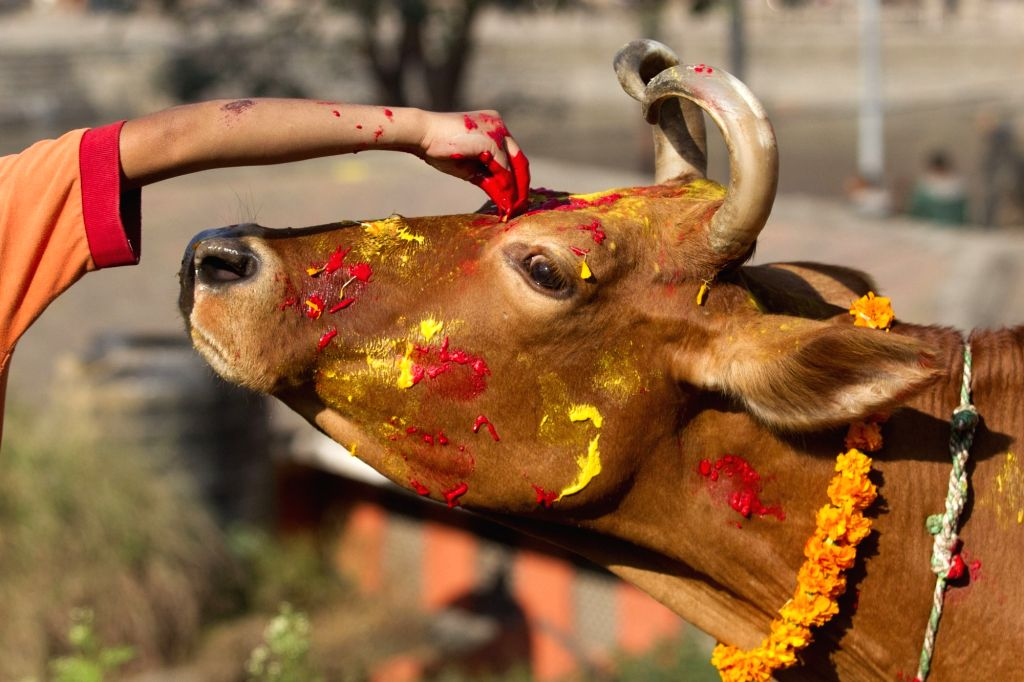 KATHMANDU, Oct. 30, 2016 - A Nepalese priest worships a cow during the Tihar festival in Kathmandu, Nepal, Oct. 30, 2016. The five-day festival in Nepal is held annually and each day is dedicated to ...