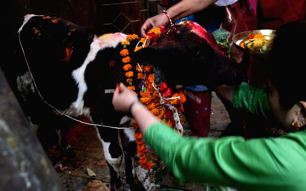 KATHMANDU, Oct. 30, 2016 - Hindu devotees worship a cow during the Tihar festival in Kathmandu, Nepal, Oct. 30, 2016. The five-day festival in Nepal is held annually and each day is dedicated to ...