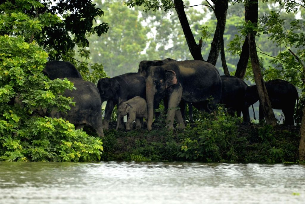 Kaziranga: A herd of wild elephants move to higher lands from the flood hit areas of Assam's Kaziranga National Park on July 12, 2017. (Photo: IANS)