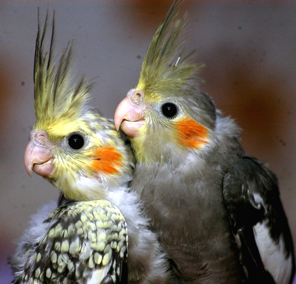 A pair of Cockatiels for sale on Valentine's Day in Kolkata, on Feb 14, 2015.