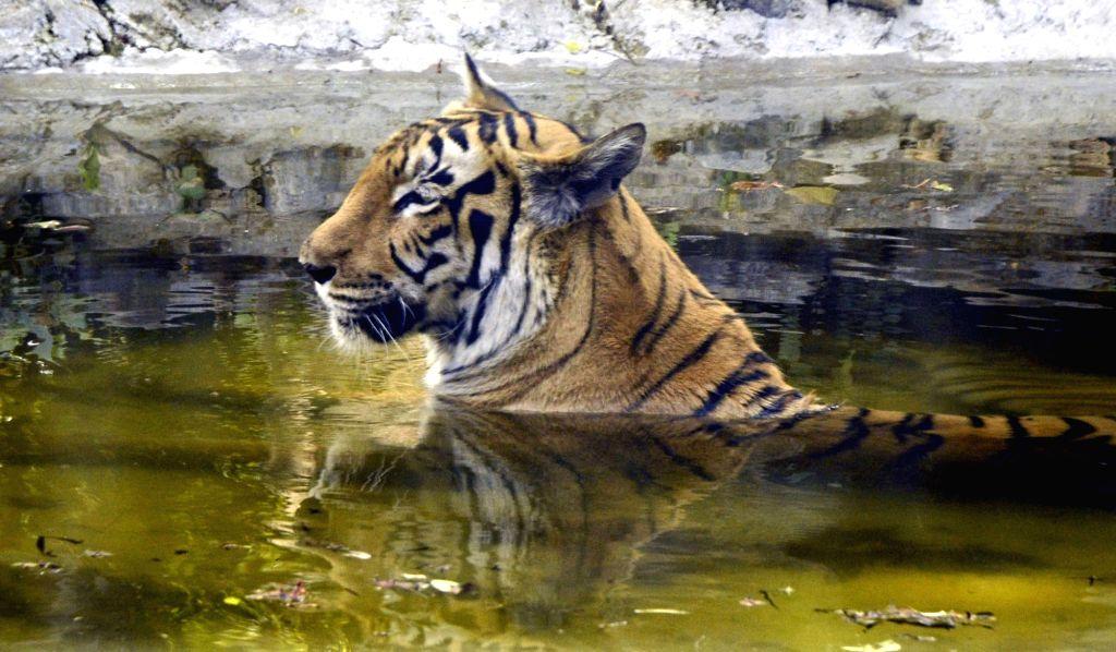 Kolkata : A tiger taking bath at Alipore Zoological Garden during very hot day in Kolkata on Sunday April, 04, 2021.(Photo: Kuntal Chakrabarty /IANS)