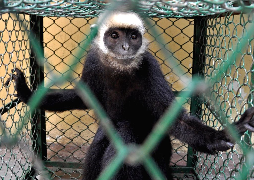Kolkata: One of the three rare species of 'Lemur' monkeys that was seized by the Forest officials along with a Lion cub, from three persons who had allegedly smuggled the animals from Bangladesh, near Dakshineswar in West Bengal's North 24 Parganas;