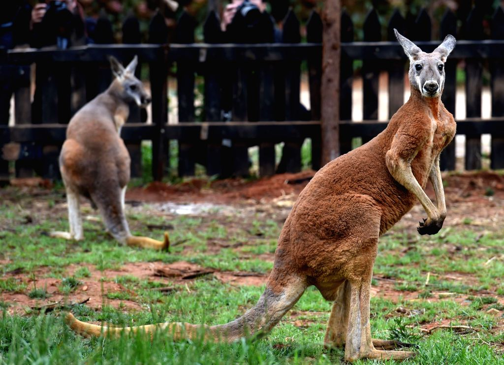 KUNMING, April 27, 2017 - Two red kangaroos are seen in Yunnan Wildlife Park in Kunming, capital of south China's Yunnan Province, April 27, 2017. Two red kangaroos from Australia were shown to the ...