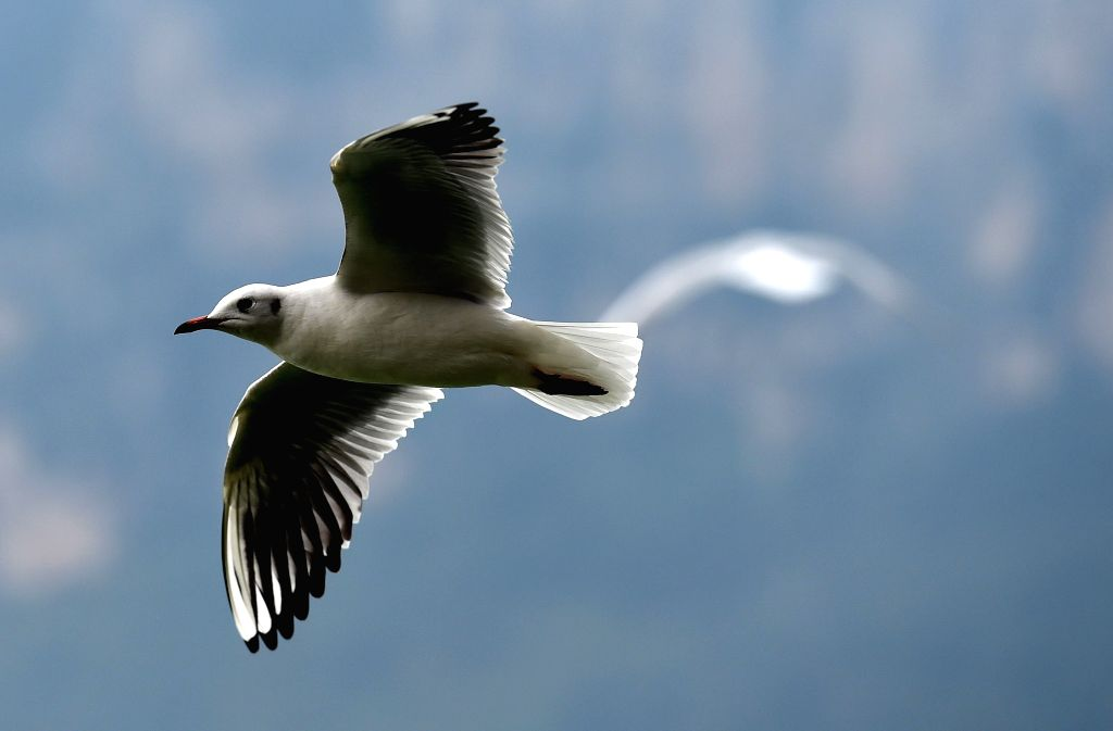 KUNMING, Oct. 25, 2016 - A black-headed gull flies at the Dianchi Lake in Haigeng park in Kunming, capital of southwest China's Yunnan Province, Oct. 25, 2016. More than 1000 black-headed gulls flew ...