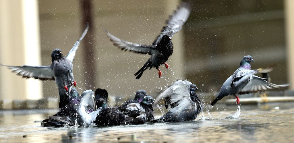 KUWAIT CITY, June 27, 2019 (Xinhua) -- Pigeons cool themselves at a fountain under high temperatures in Kuwait City, Kuwait, June 27, 2019. (Xinhua/Asad/IANS)