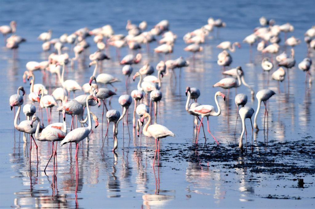 KUWAIT CITY, Nov. 27, 2019 - Flamingoes forage on the beach of Kuwait City, Kuwait, on Nov. 26, 2019.