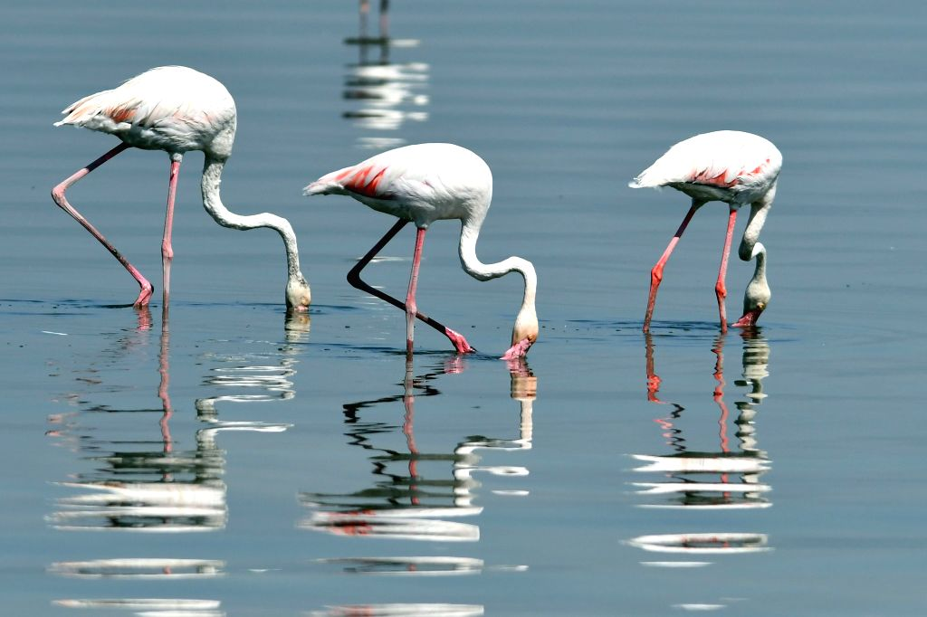 KUWAIT CITY, Sept. 13, 2019 - Flamingoes forage on the beach of Kuwait City, Kuwait, Sept. 13, 2019. Flamingoes migrate to the beaches in Kuwait in late autumn through early spring every year.