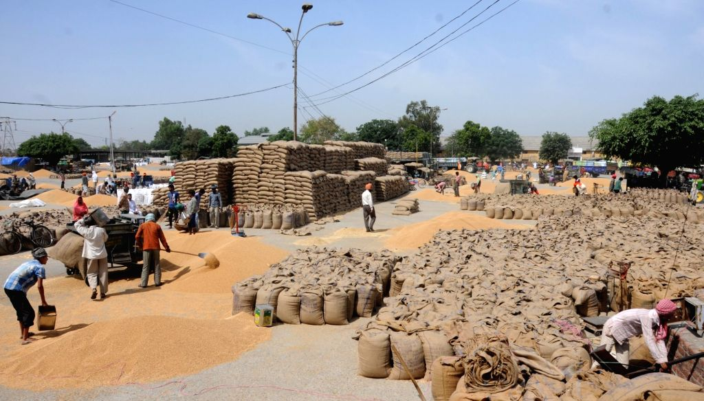 Labourers busy packing wheat in gunny bags at a grain market of Amritsar on April 21, 2016.