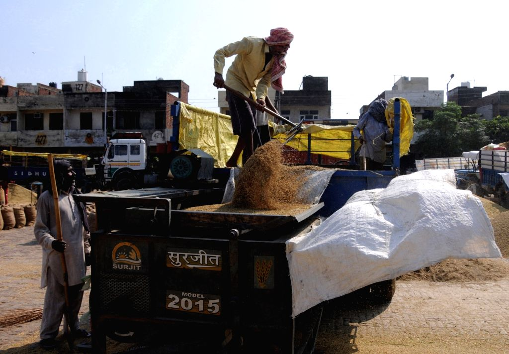 Labourers work at harvested paddy crop to separate the grains from husk at grain market in Amritsar on Tuesday,October 05 , 2021.