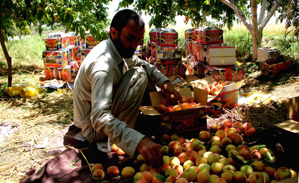 LAGHMAN, May 19, 2019 - An Afghan farmer works at a peach garden in Mehtarlam, Laghman province, Afghanistan, May 18, 2019.