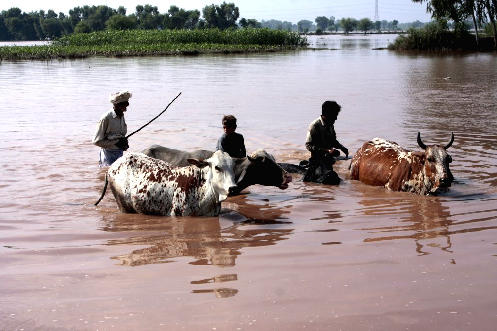 Pakistanis walk in flood water with their live stocks in the flood-hit village of Chung near Lahore, eastern Pakistan, on Sept. 11, 2014. Pakistani troops used ...