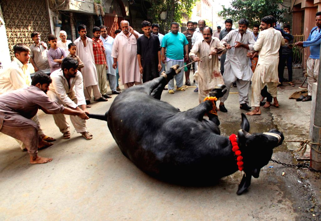 LAHORE, Sept. 15, 2016 - Pakistani Muslims try to slaughter a bull during Eid al-Adha festival in eastern Pakistan's Lahore, on Sept. 15, 2016. Muslims across the world celebrate the Eid al-Adha ...