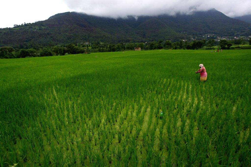 LALITPUR, July 26, 2016 - A Nepalese woman weeds a paddy field in Khokana, on the outskirts of Lalitpur, Nepal, July 26, 2016. Agriculture is the major sector of Nepalese economy which contributes ...