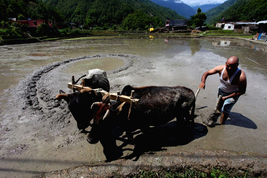 """LALITPUR, June 30, 2016 - A Nepalese farmer plows the field during the Asar Pandhra festival in Nuwakot, Nepal, June 29, 2016. The festival, which falls on """"Asar 15"""" of the Nepalese ..."""