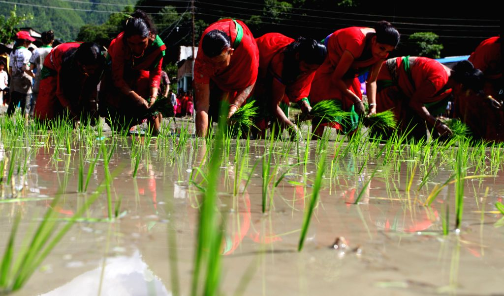 """LALITPUR, June 30, 2016 - Nepalese women plant rice seedlings during the Asar Pandhra festival in Nuwakot, Nepal, June 29, 2016. The festival, which falls on """"Asar 15"""" of the Nepalese ..."""
