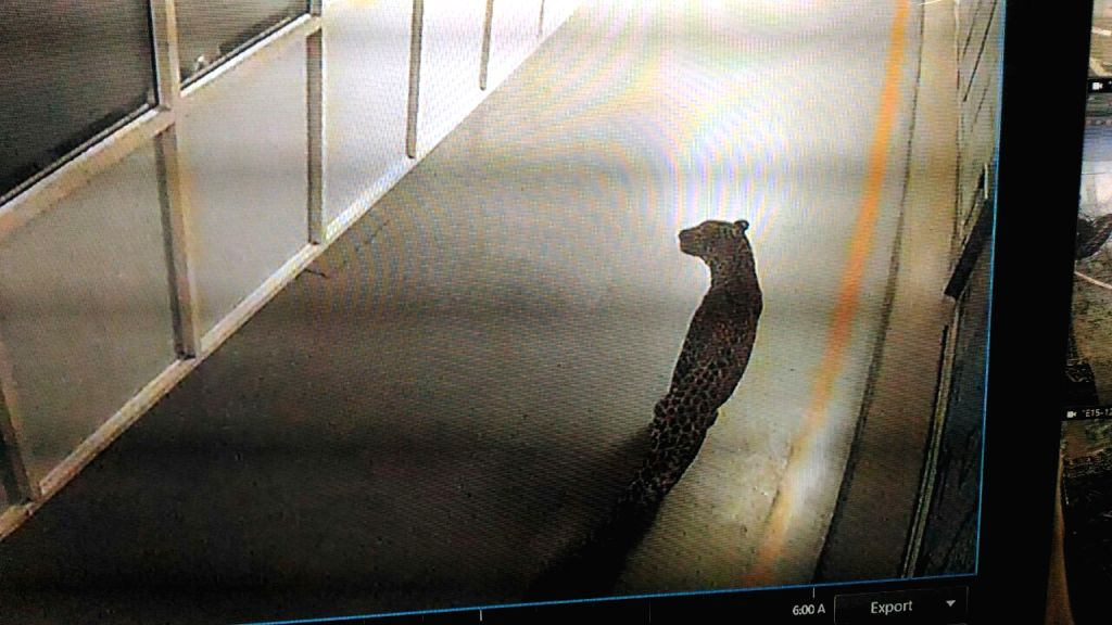 Leopard caught in the CCTV footage of the Suzuki factory Manesar on Thursday.