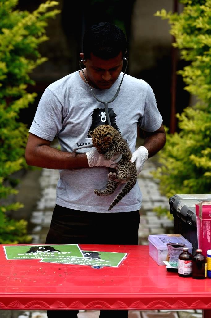 Leopard cub one month old, rescued by Wildlife SOS
