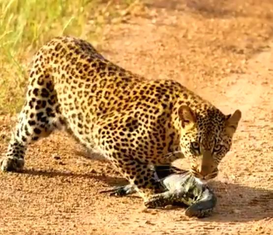 #Leopard v/s Monitor Lizard: A clash of claws and tails