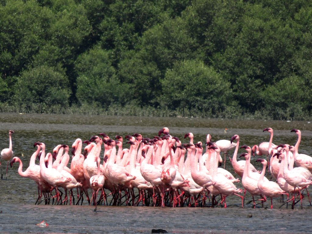 Lesser flamingos feeding in thane creek on thane side.
