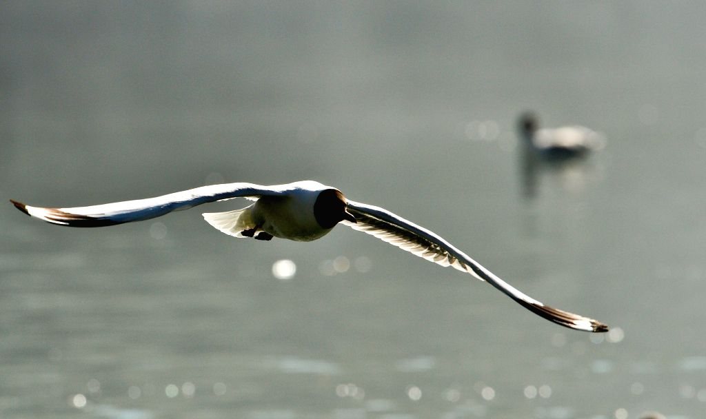 A black-headed gull flies over a lake at the Zongjiaolukang Park in Lhasa, capital southwest China's Tibet Autonomous Region, April 15, 2014. (Xinhua/Purbu ...