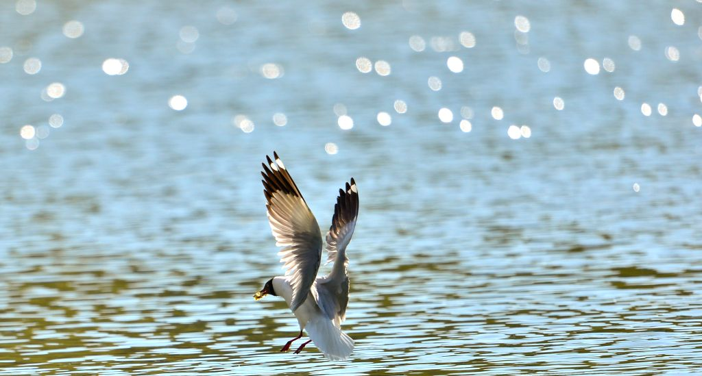 A black-headed gull looks for food on a lake at the Zongjiaolukang Park in Lhasa, capital southwest China's Tibet Autonomous Region, April 15, 2014.