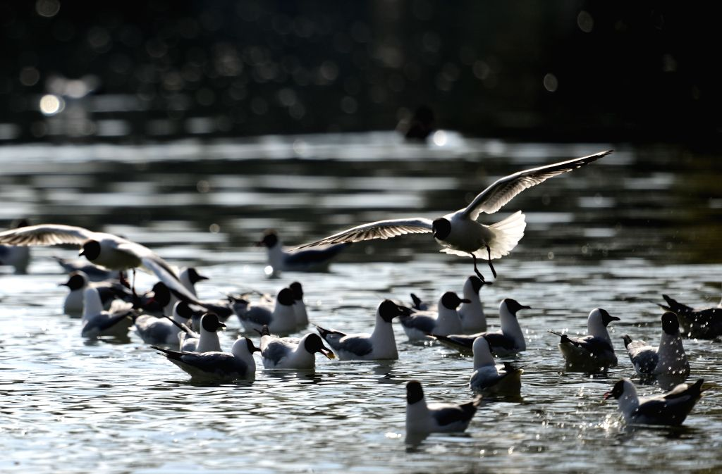 Black-headed gulls look for food on a lake at the Zongjiaolukang Park in Lhasa, capital southwest China's Tibet Autonomous Region, April 15, 2014. (Xinhua/Purbu ...