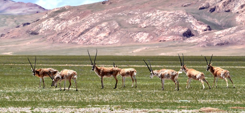LHASA, Aug. 6, 2019 - Photo taken on Aug. 4, 2019 shows Tibetan antelopes in Nyima County of Nagqu City, southwest China's Tibet Autonomous Region. Located within the Changtang National Nature ...