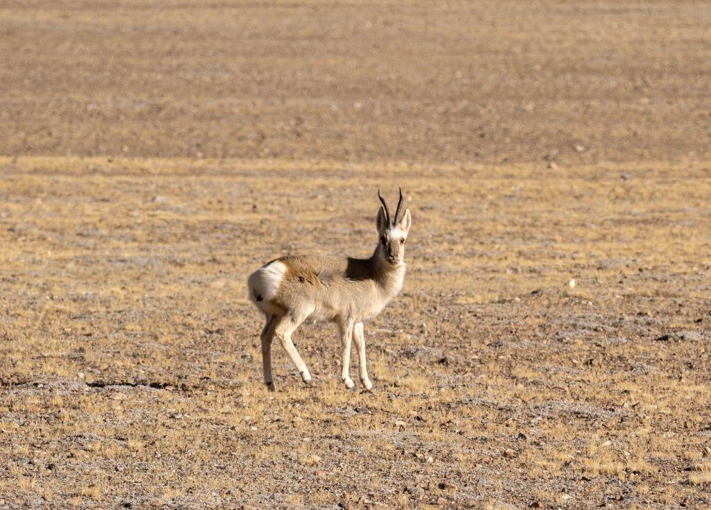 LHASA, Dec. 25, 2019 - A Tibetan gazelle is seen in Nagqu, southwest China's Tibet Autonomous Region, Dec. 23, 2019. The number of wild animals in Nagqu rises gradually thanks to the improvement of ...