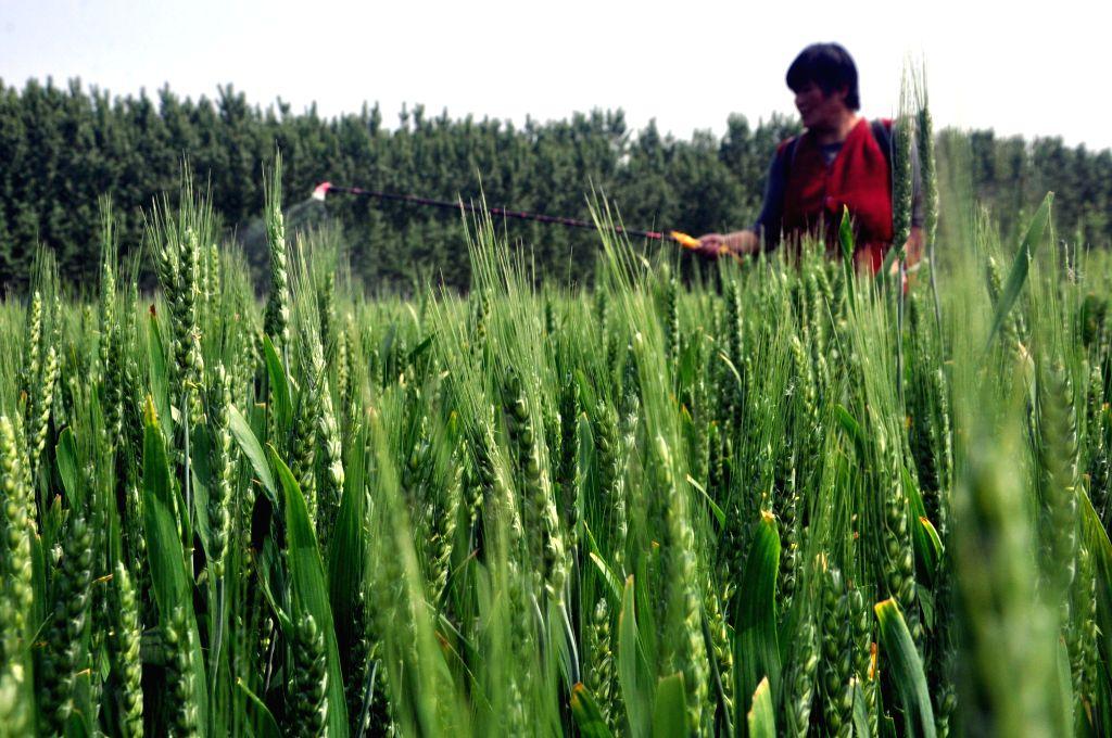 LIAOCHENG, April 28, 2014 (Xinhua) -- A farmer sprays pesticide in the wheat fields in Jiazhai Township of Liaocheng City, east China's Shandong Province, April 28, 2014. (Xinhua/Zhao Yuguo/IANS) (ry)