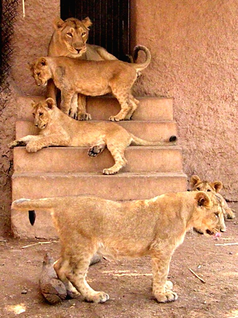 Lion cubs relax with their mother at Nehru Zoological Park in Hyderabad on March 4, 2017.
